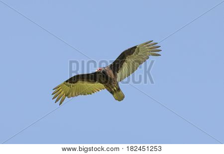 Turkey Vulture (Cathartes aura) Gliding with Wings Spread. Santa Clara County, California, USA.