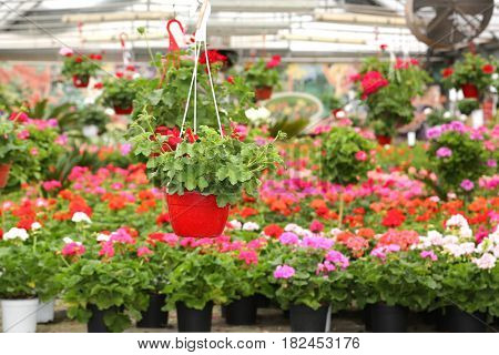 Pot With Geraniums For Sale In The  Greenhouse In The Spring