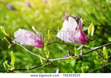 Photo of Pink Magnolia Bloom at Springtime
