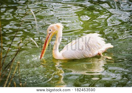 Photo of Single Pelican At Green Water