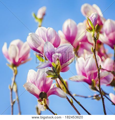Photo of the Pink Magnolia Flower Blossom