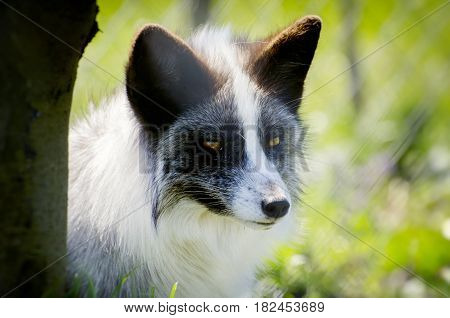 Portrait of the White Silver Fox Over Natural Background
