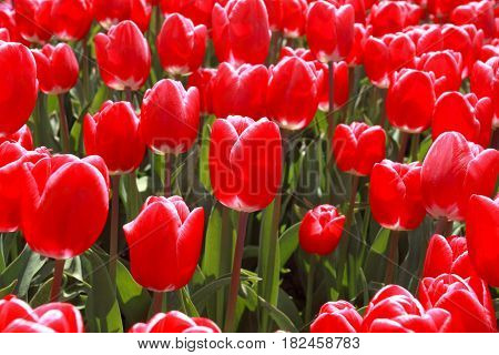 red tulip flower on outdoor field close up