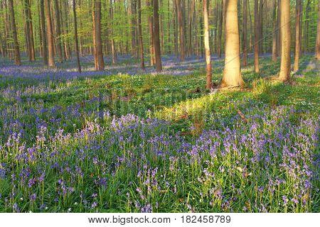 flowering spring forest in spring Hallerbos Belgium