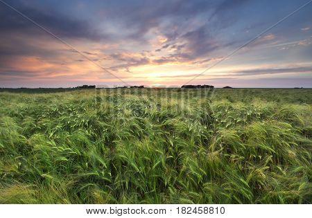 wheat field at gold summer sunset, Netherlands