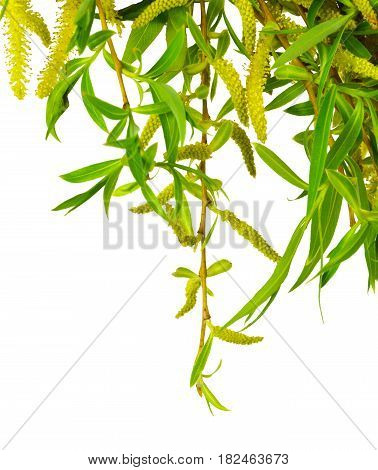 Young foliage and flowers of willows on branches. Isolated on white background without shadow. Flowering willows. Spring. Close-up.