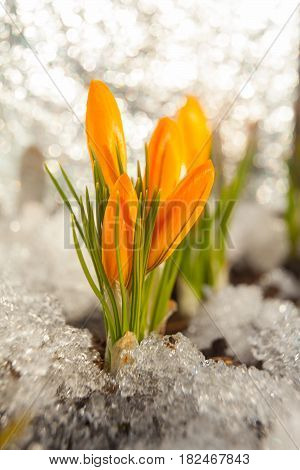 Beautiful Spring Crocus Flower On Background Image