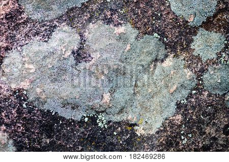 Gray lichen on the stone surface. Close-up.
