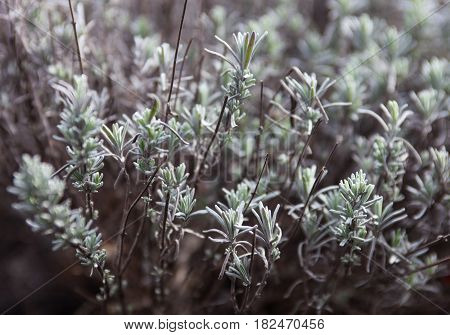 Wormwood or absinth or sagebrush (Artemisia). Close up.