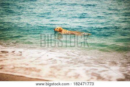 Golden dog on the beach