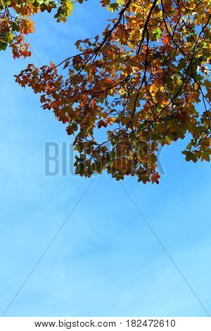 maple leaves and blue sky autumnal frame golden autumn