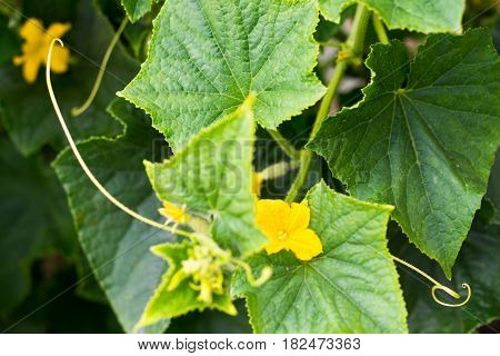 Cucumber yellow flowers and green leaves. Close up.