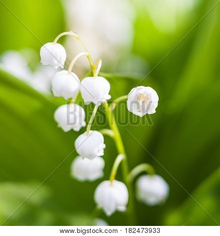 Lily of the valley (Convallaria majalis) white flowers. Spring blossom. Close-up.