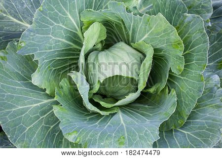 Fresh cabbage head with water drops in the vegetable garden. White cabbage. Brassica oleracea. Top view. Close-up.
