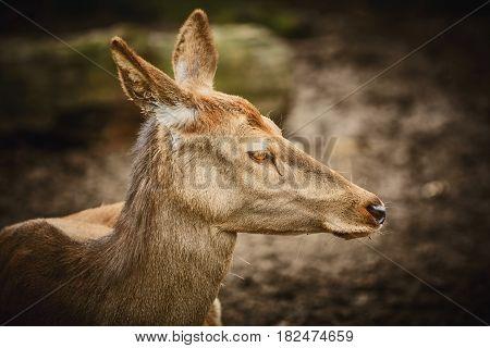 Portrait of Female Elk against Dark Background