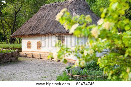 Old traditional Ukrainian house built in wattle and daub technique with thatched roof. Blooming guelder rose (arrowwood viburnum opulus) branch in the foreground.