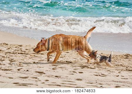 Big and Small Dogs Played on a Beach