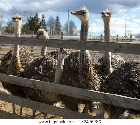 Ostriches in the paddock of the farm. Ostriches on the farm.