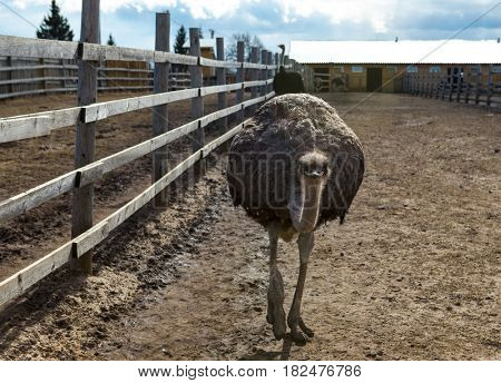 Female of African ostrich on the farm. Ostriches on the farm.
