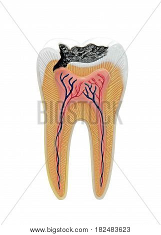 Tooth isolated on white background close up image