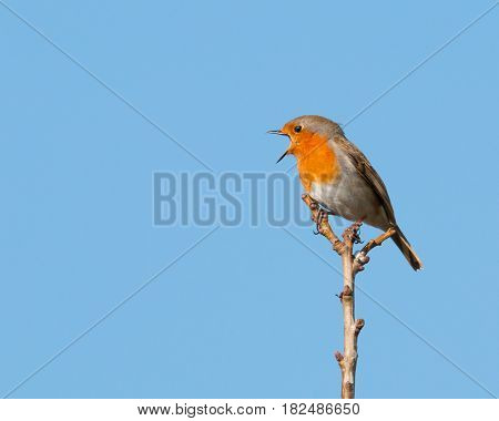 Red breasted robin perched on a tree branch singing