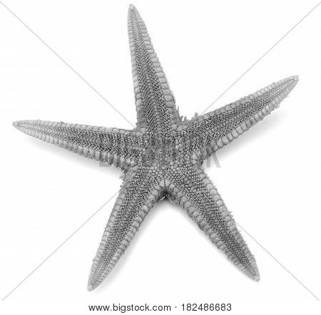 Grey color seastar, isolated on white background.