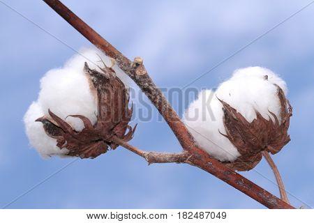 Cotton plant. Ripe cotton ready for harvesting.