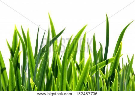 Fresh green grass isolated on white background.