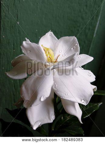 Flor de gardênia com gotas de água