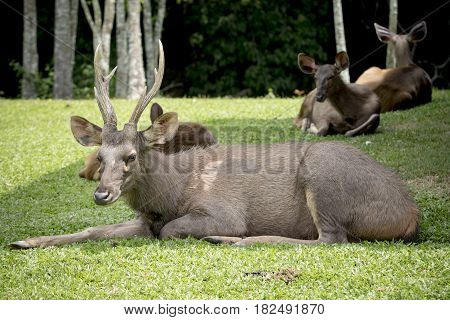 male sambar deer lying on green grass khao yai national park thailand