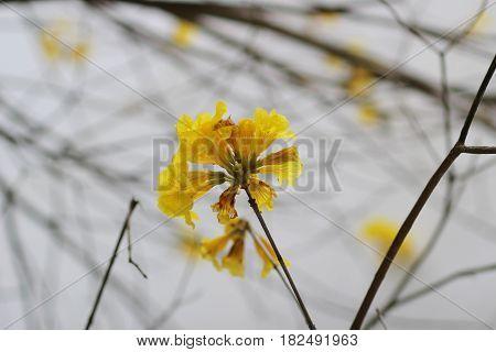 Chrysotricha Flower At Hkust 2017