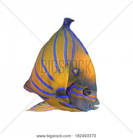 Bluering Angelfish. Reef fish isolated on white background
