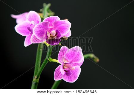 Pink orchid on black background,close up image .