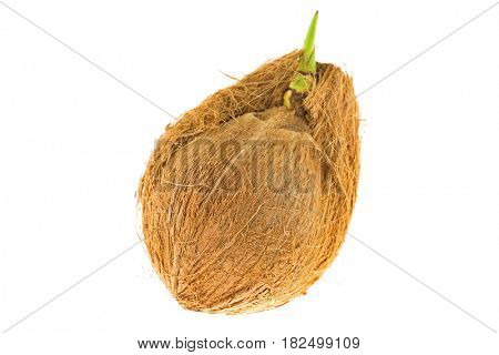 Old mature raw coconut shell with brown fiber and green sprout isolated on white background