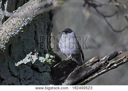Eurasian blackcap resting on a branch in its habitat