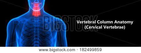 3D Illustration of Spinal cord (Cervical Vertebrae) a Part of Human Skeleton Anatomy