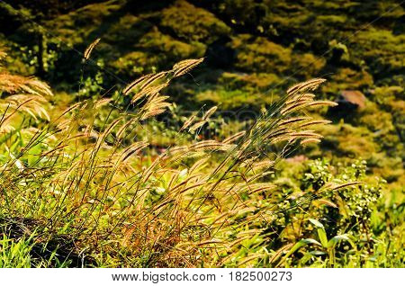 grassland background / texture, grassland looks like a golden wave