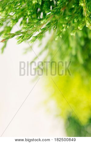 Young green conifer branches close up with blur on white background.