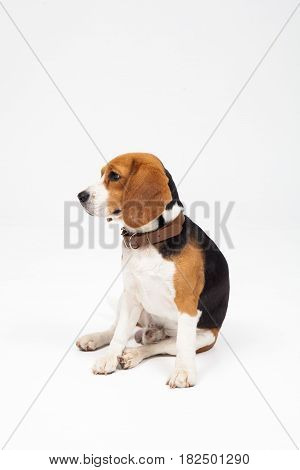 A cute beagle dog isolated on white background