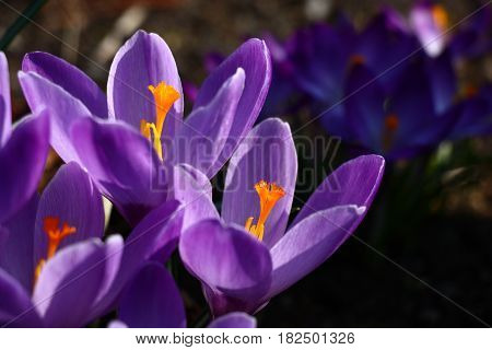In front shined large violet flowers of crocuses. Behind in a shade small violet flowers of crocuses.