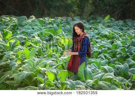 Tobacco Field Woman Laos are harvesting tobacco leaf in field tobacco in Nong Khai Thailand