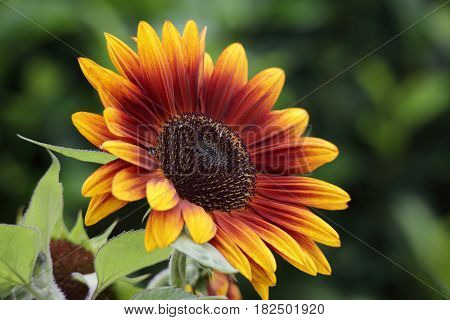 Beautiful sunflower (Helianthus annuus) blooming in the summer months. Its large flowerheads capture the attention of most. It is commonly grown as a crop for its edible oil and edible fruits.