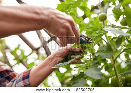 farming, gardening, agriculture, harvest and people concept - hands of senior farmer with secateurs at farm greenhouse