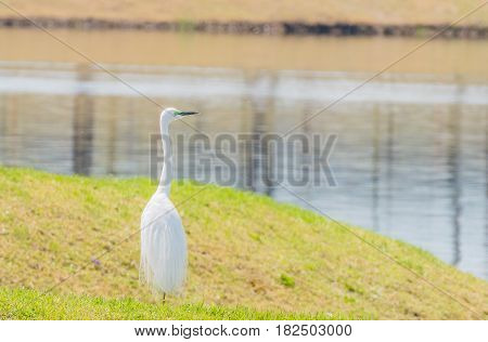 Snowy white egret standing on grassy shore of lake in South Korea
