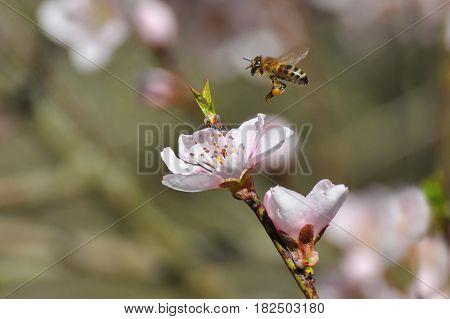 Honey bee collecting nectar on White flower, Honey Bee pollinating wild flower