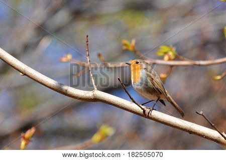 Red Robin on a branch with a blue sky in background