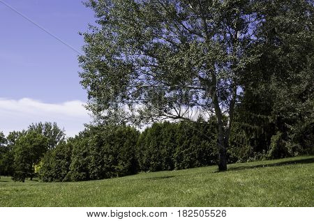 Landscape of a single birch trees with foliage and blue sky in the background in the Nature Park, Laval, Quebec on a sunny day in June.