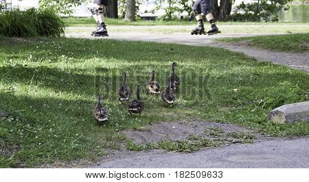 Wide view from the back of a small flock of ducks waddling across the grass towards a path where there are the soft focus legs of people going by on in-line-skates at Rene Levesque Park, Lachine, Quebec on a sunny day in August.