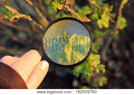 Gardener inspects Currant bush through a magnifying glass in the spring/ Close study of growth