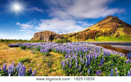 Typical Icelandic landscape with field jf blooming lupine flowers in the June. Sunny summer morning in the south coast of Iceland Euriope. Artistic style post processed photo.